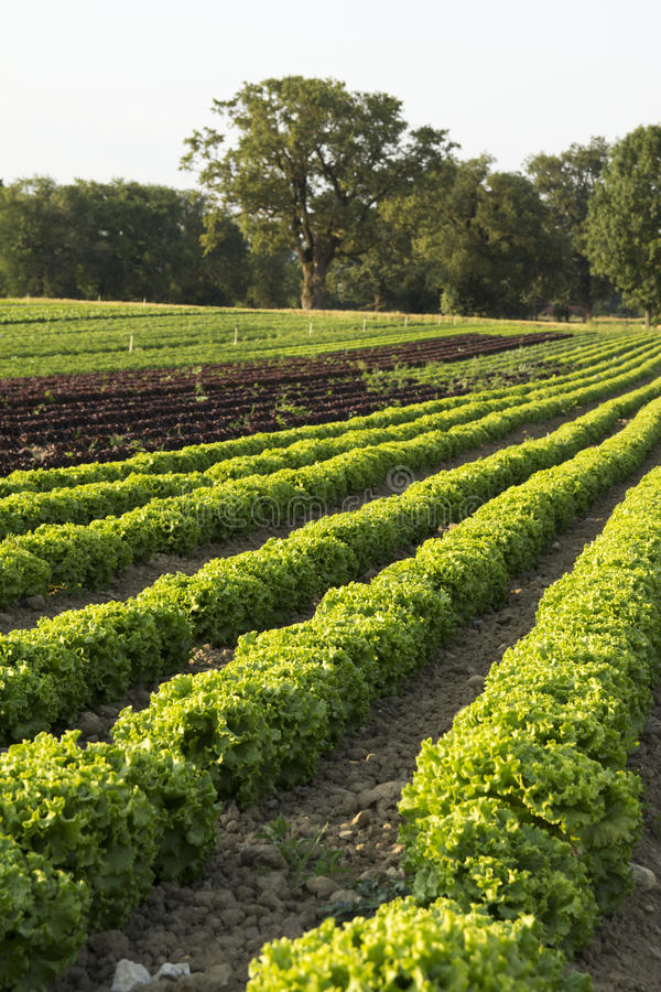 Field of salads. Agricultural fields of green and red salads royalty free stock image
