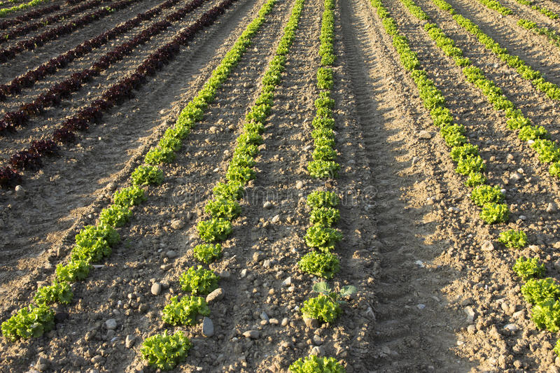 Field of salads. Agricultural fields of green and red salads royalty free stock images