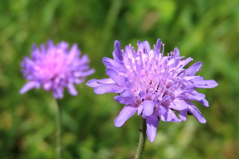 Field scabious Knautia arvensis violet flower on a meadow stock image
