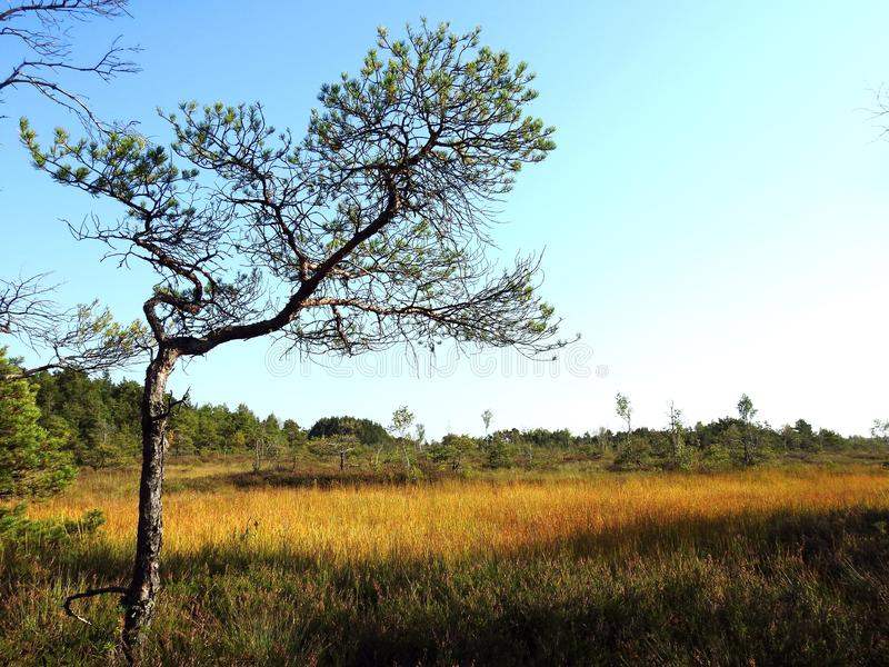 Old small pine tree in swamp, Lithuania. Field and small but old pine tree in autumn in Aukstumalos swamp stock images