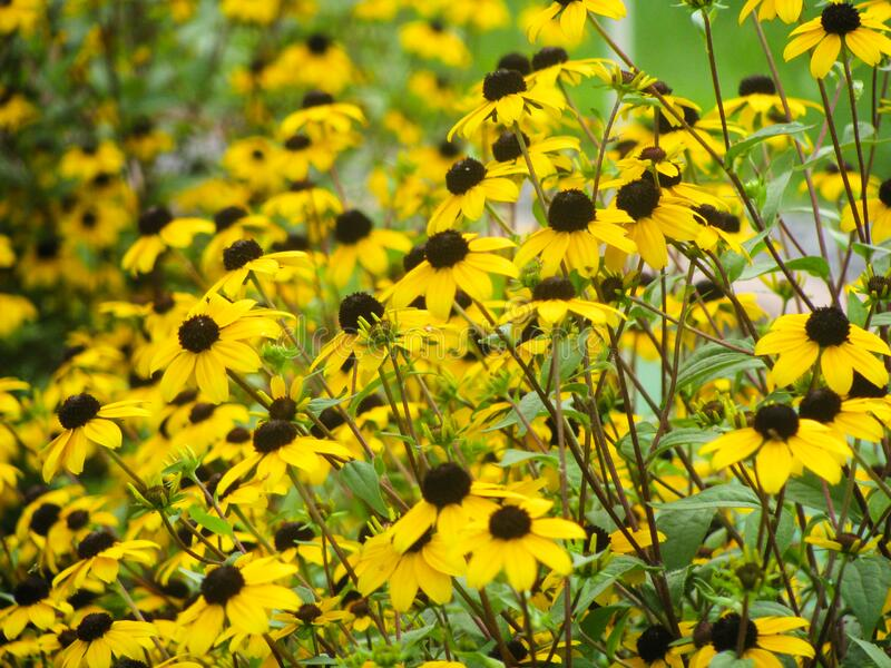 Field of Small Yellow Sunflowers royalty free stock images