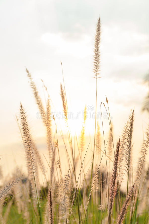 Field of softly mission grass swaying in the wind with blurred f. Nature field of softly mission grass Feather Pennisetum swaying in the wind with blurred focus royalty free stock photography