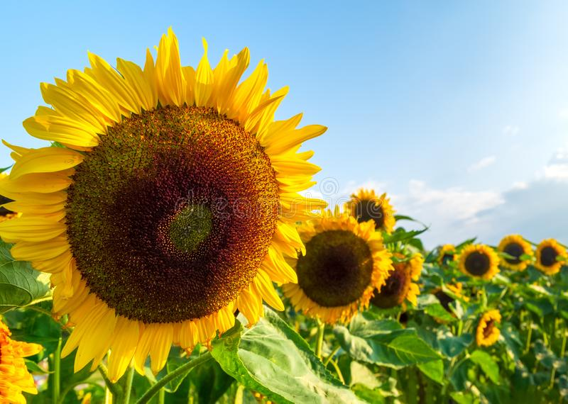 A field with decorative sunflower with orange flowers. Lower Saxony, Germany stock photo