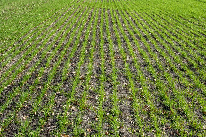 Field sown with wheat stock photo