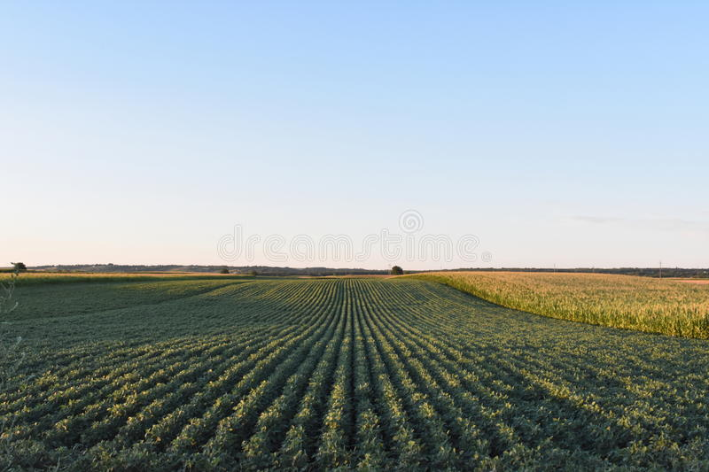 Field with soy. Dipped in the sun in the plain stock photo