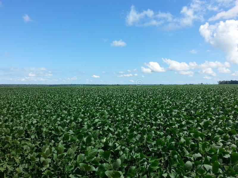 Field of soybeans in mato grosso, brazil royalty free stock photography