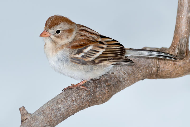 Field Sparrow stock image