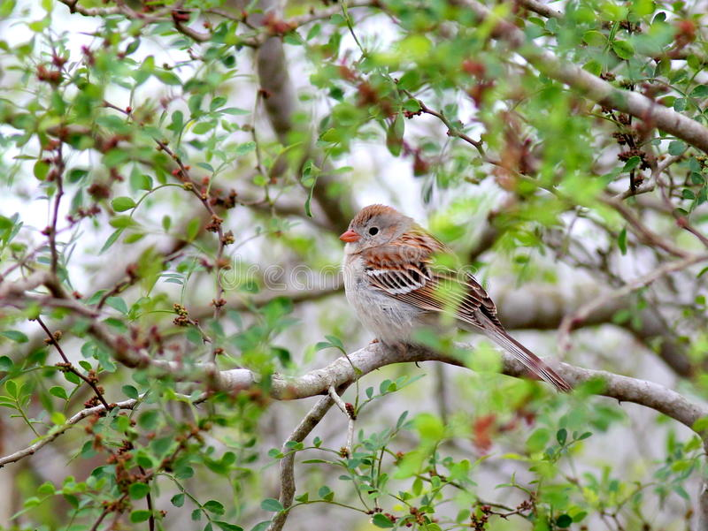 Field Sparrow Perched on a Branch stock photos
