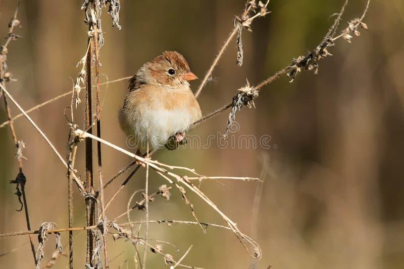 Field Sparrow - Spizella pusilla royalty-vrije stock afbeelding