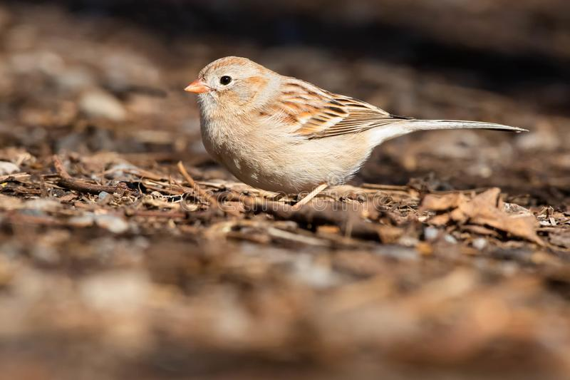Field Sparrow - Spizella pusilla stock images