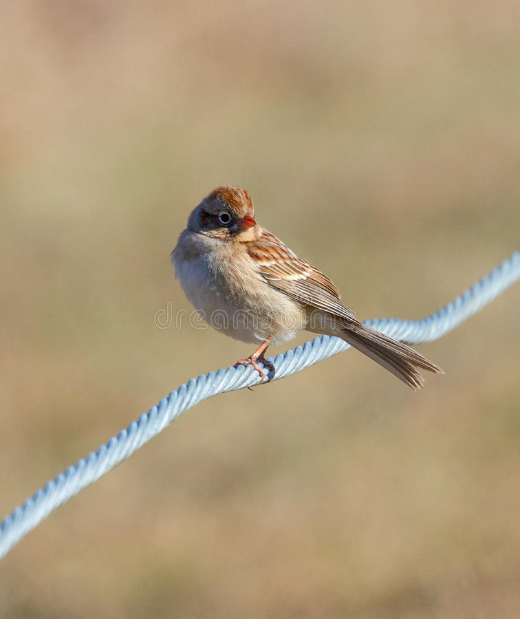 Field Sparrow on Wire stock photos