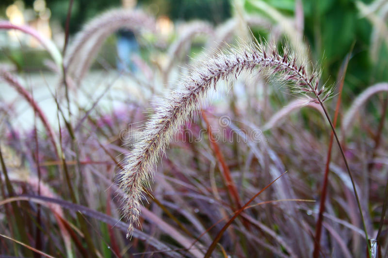 Field spikelets, outdoors. Field spikelets in the field, outdoors royalty free stock photo