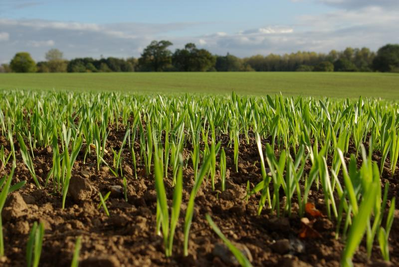 Field in Spring with shoots royalty free stock photo