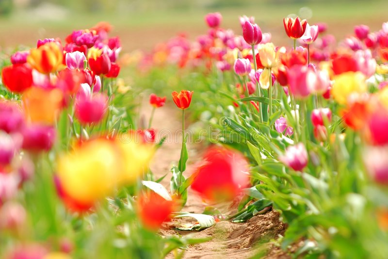 Field of Spring Tulips stock image