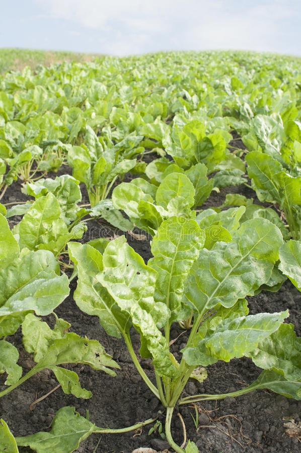 Download Field with sugar-beet stock image. Image of farm, scene - 19953375