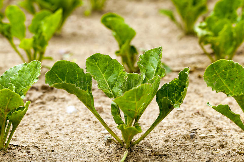 Field with sugar beet royalty free stock image