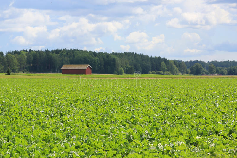 Field of Sugar Beet at Summer stock photo