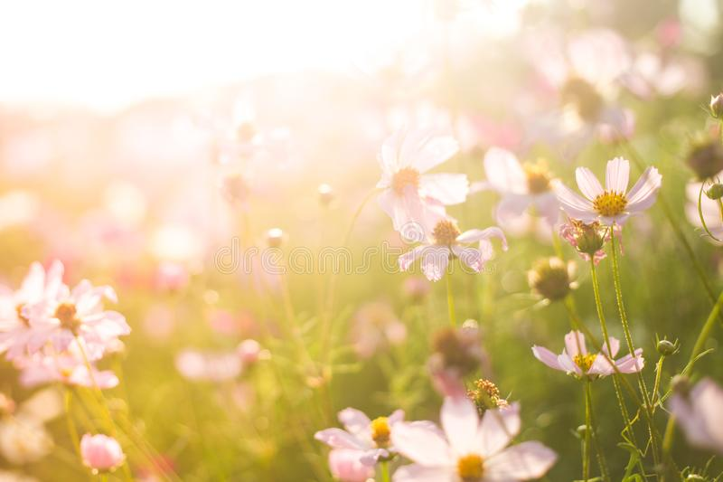 Field of summer pink and white flowers in the warm sunlight. In park, soft blurred picture royalty free stock images