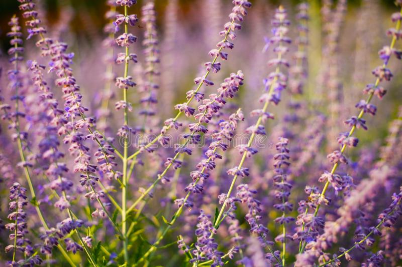 Field of summer purple flowers of russian sage in the warm sunlight. Floral background stock photography