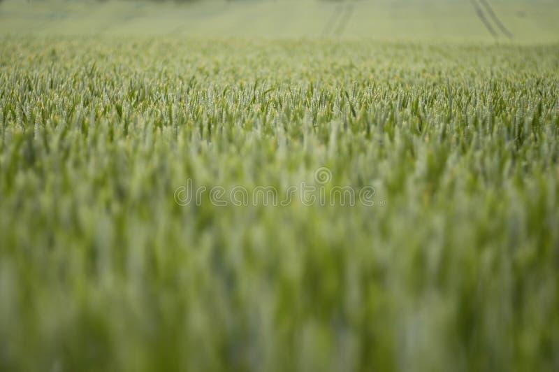 Field of Summer Wheat 2 stock photo