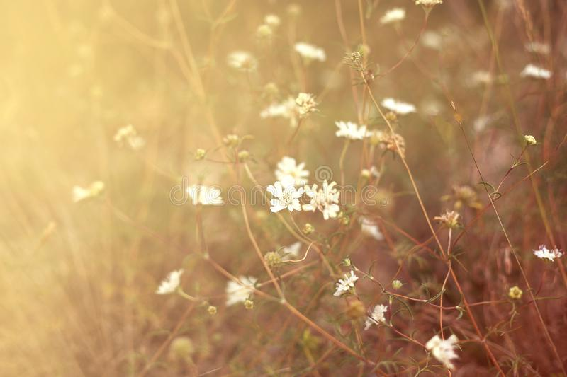 Field of summer white flowers in the warm sunlight. Field of summer wild white flowers in the warm sunlight. Natural flower background. Sun flare stock photos