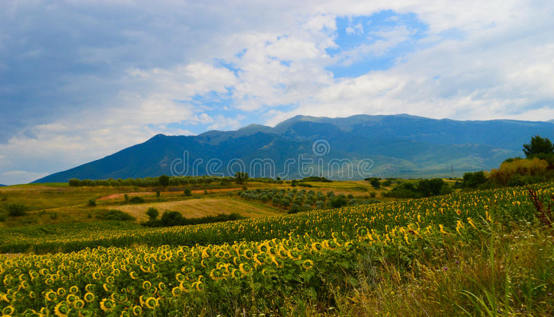 Field of sun flowers, blue sky and Rodopi Mountain stock photo