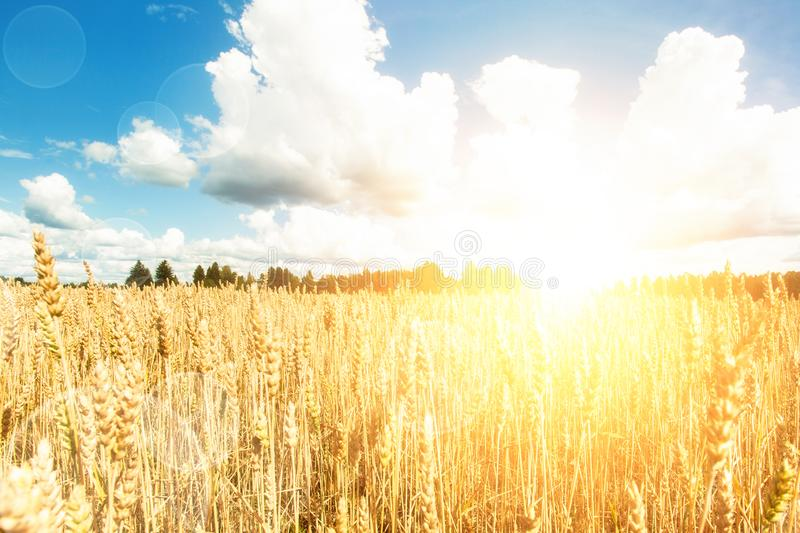 Field with sun. yellow wheat and blue sky stock photography