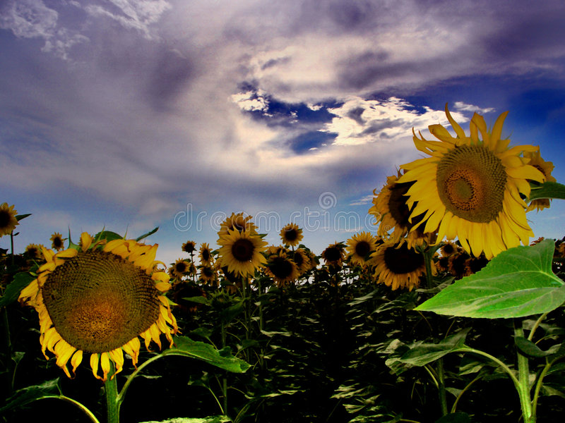 Download Field Of Sunflower....(1) Royalty Free Stock Photography - Image: 197287