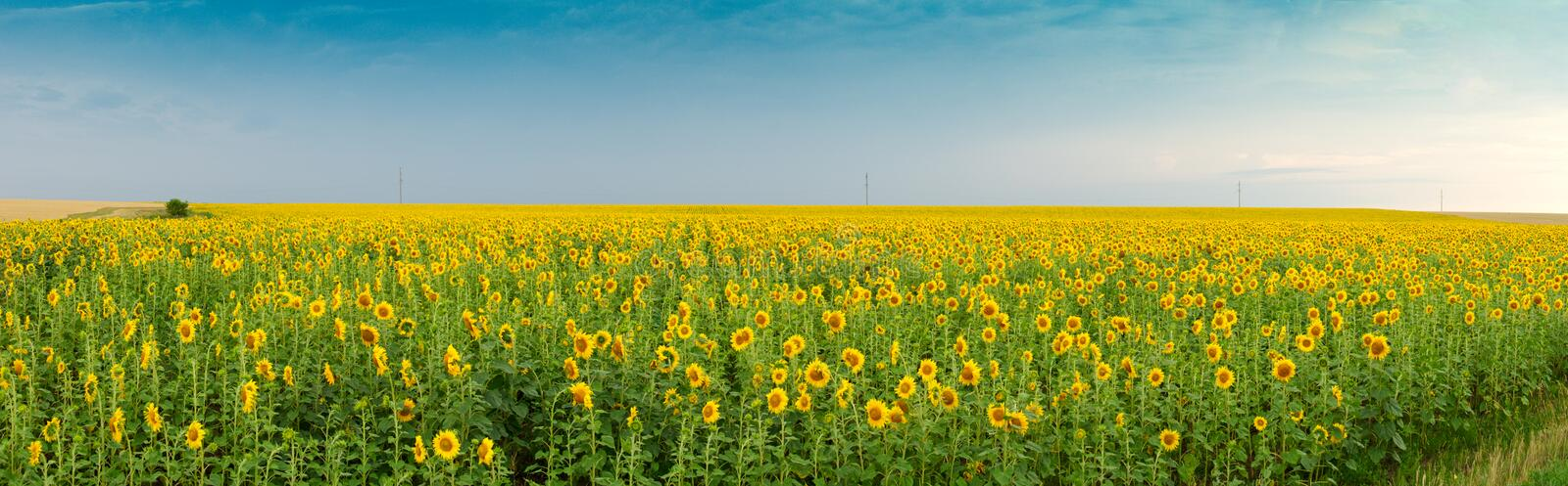 Field of sunflower. In summer day royalty free stock photography