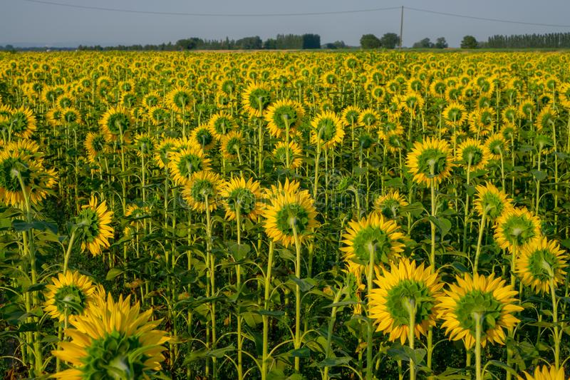 Field of sunflower blossom in a garden, view from back of  yellow petals of flower head spread up and blooming on green leaves. Field of sunflower blossom in a stock images