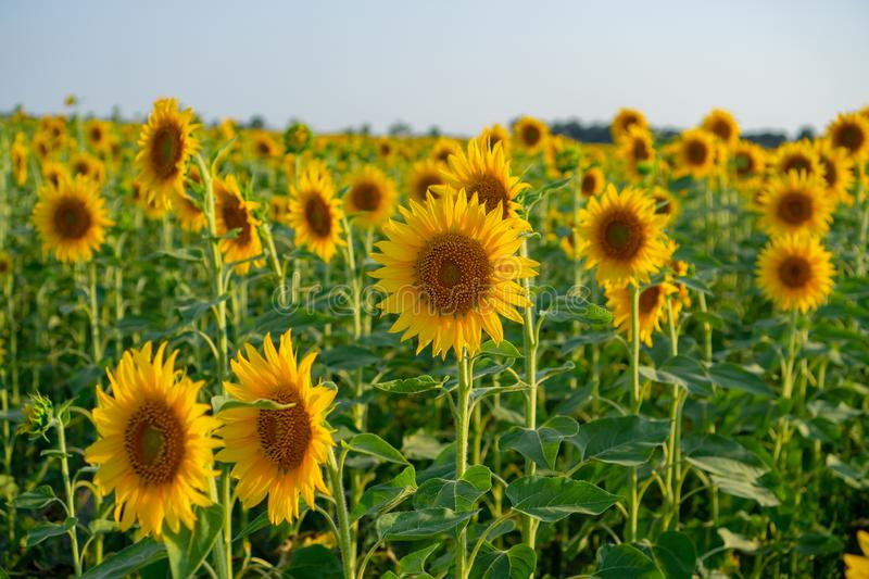 Field of sunflower blossom in garden, yellow petals flower head spread up to blossom above green leaves. Field of sunflower blossom in a garden, the yellow royalty free stock photo