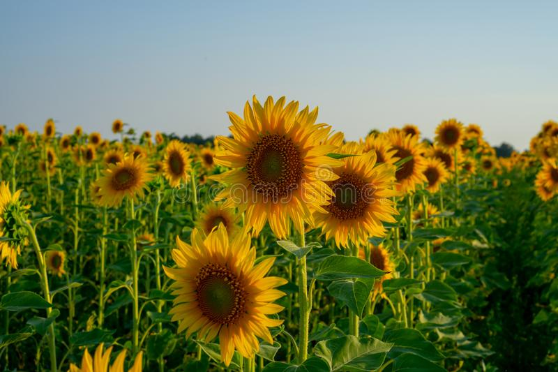 Field of sunflower blossom in garden, the yellow petals of flower head spread up and blooming above green leaves. Field of sunflower blossom in a garden, the royalty free stock photography