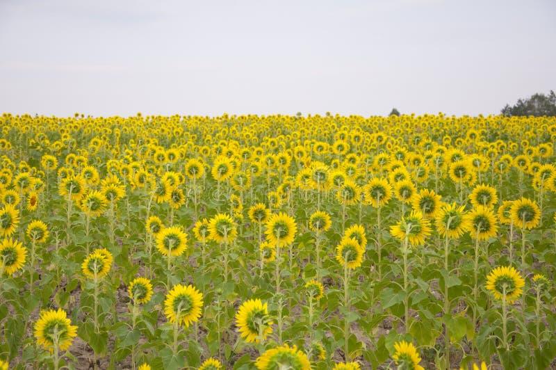 Flowers of sunflower stock photo