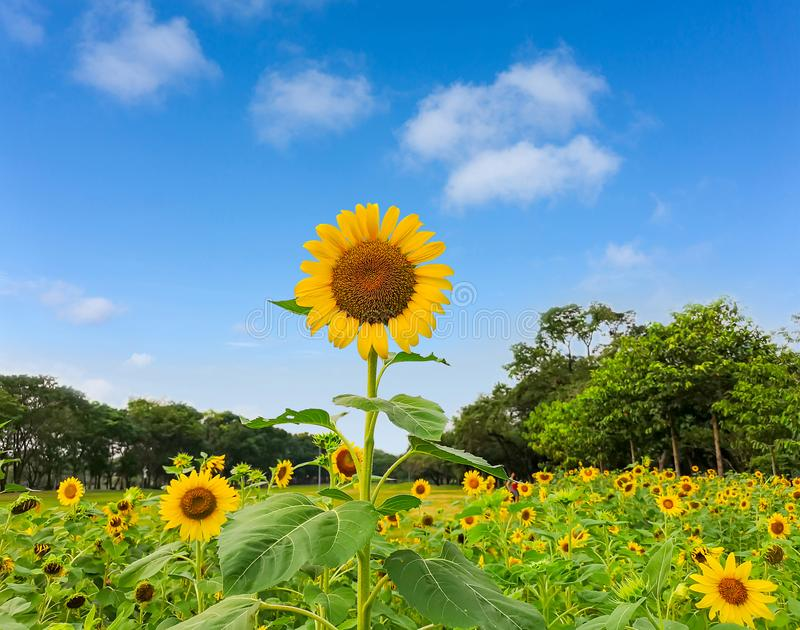 A field of sunflower in a garden, the yellow petals of flower head spread up above green leaves trees background under vivid blue. A field of sunflower blossom royalty free stock photo