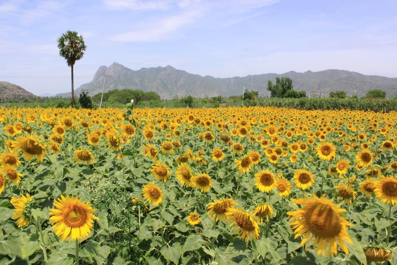 A field of sunflower plants in Tamil Nadu, India stock photo