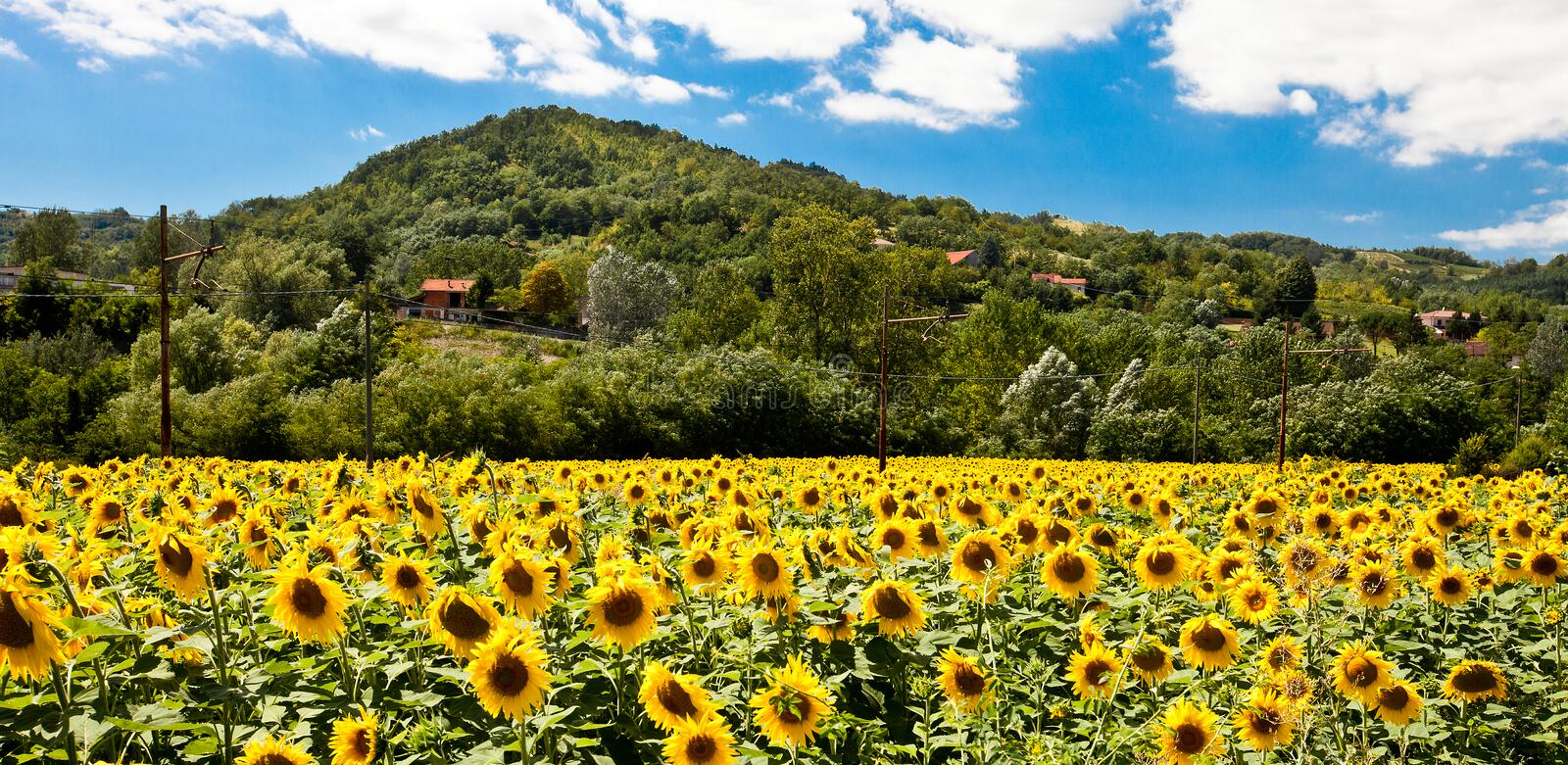 Download A field of sunflowers stock image. Image of fresh, flower - 15660315