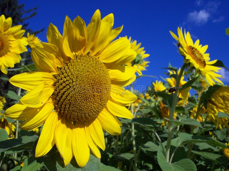 Download Field Of Sunflowers Stock Photography - Image: 207572