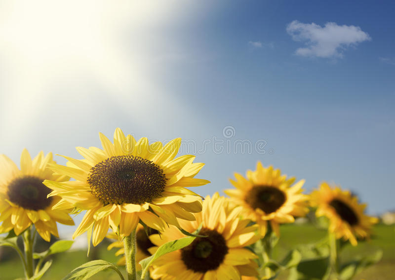 Download Field of Sunflowers stock image. Image of growing, flowers - 22291955