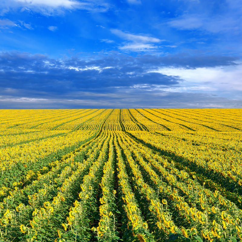 Download Field of sunflowers stock photo. Image of cumuli, sunbeam - 24082070