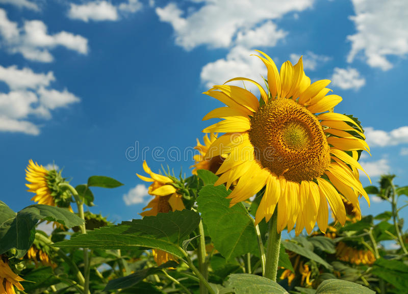 Field of sunflowers. Against blue sky royalty free stock photo
