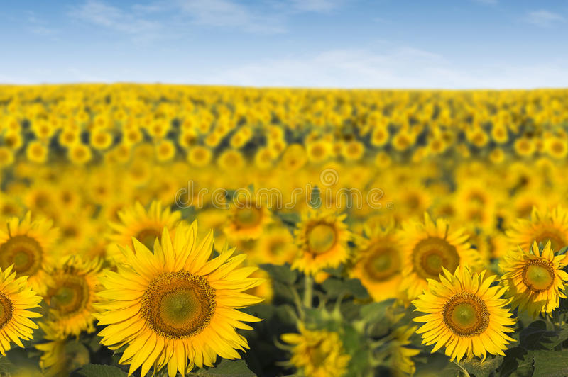 Field Of Sunflowers Royalty Free Stock Photography