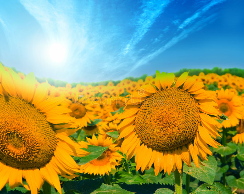 Download Field of sunflowers stock photo. Image of sunflowers, backdrop - 5090270