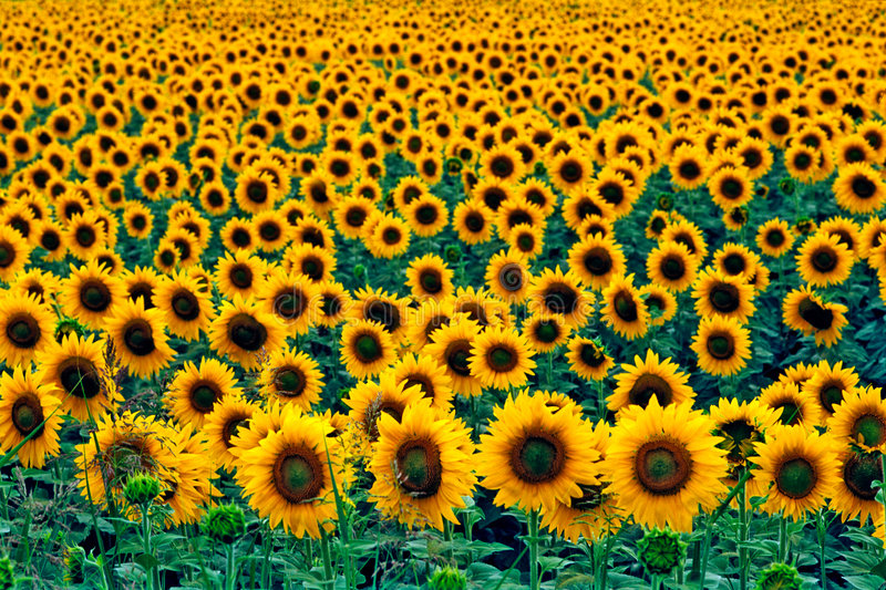 Download Field of sunflowers stock image. Image of field, summer - 5698355
