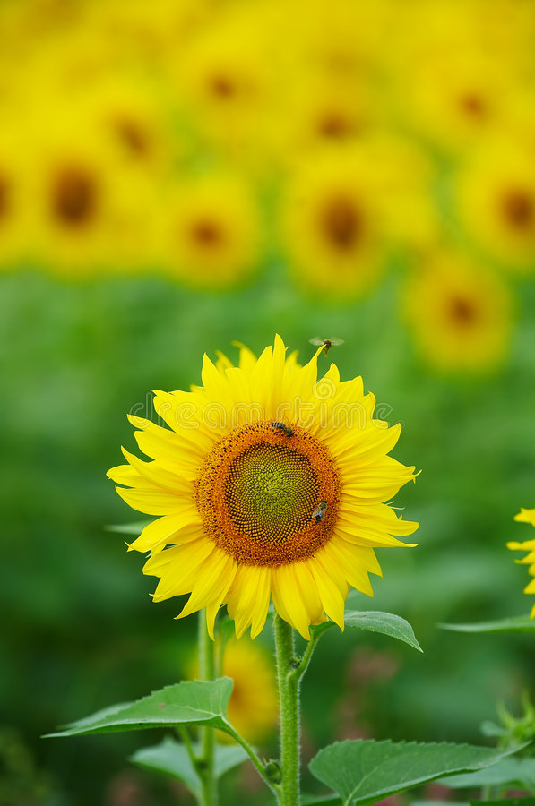 Download Field of sunflowers stock image. Image of colorful, field - 7017399