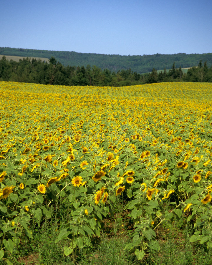 Download Field Of Sunflowers Stock Images - Image: 782484