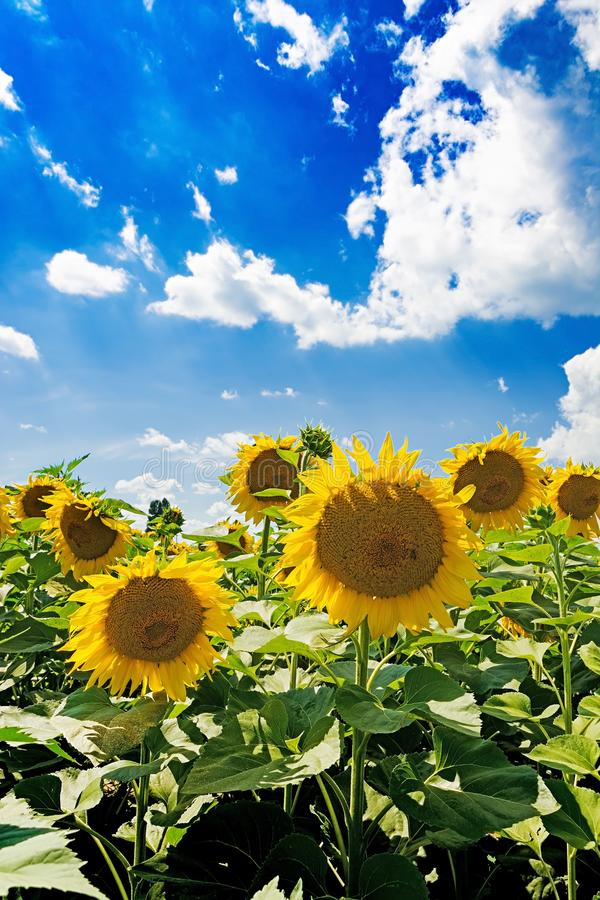 Field with sunflowers against the blue sky. Beautiful landscape nature royalty free stock images