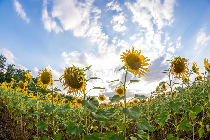 Field with sunflowers. On the background of beautiful clouds, landscape, summer, nature, sky, yellow, green, agriculture, sunset, meadow, growth, blue, sunny royalty free stock photos