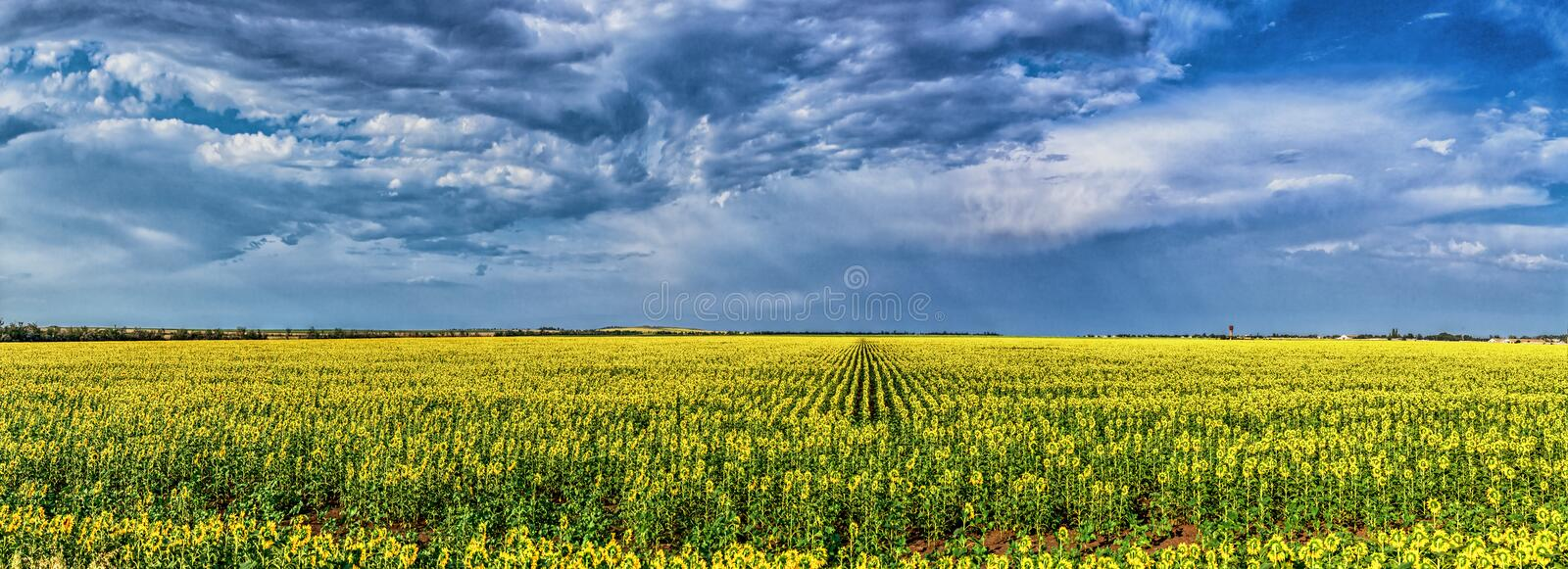 Download Field of sunflowers stock image. Image of cloud, colored - 34569205