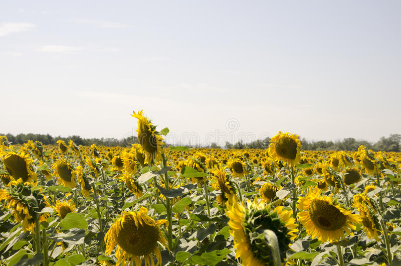 A field of sunflowers stock photography