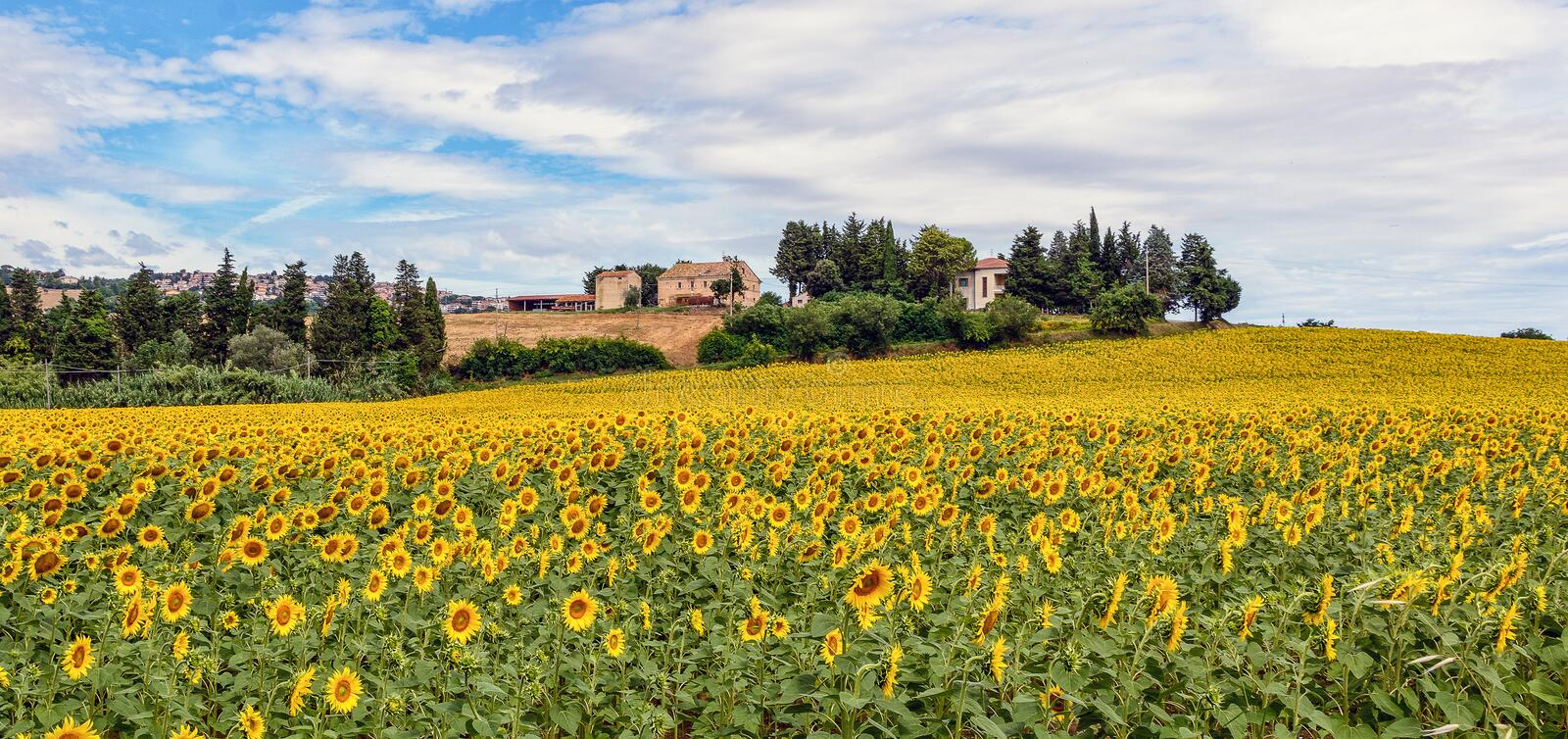 Download Field Of Sunflowers Stock Photo - Image: 89501582